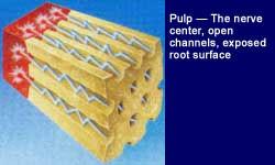 saraf dan sel-sel di dalam gigi